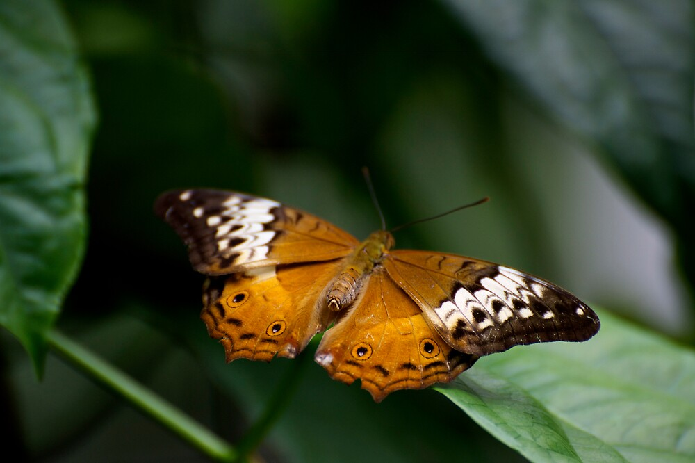 Orange Lacewing by GP1746