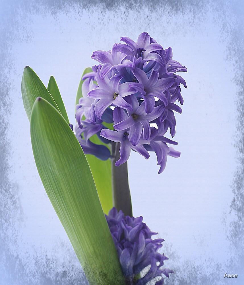 Hyacinth by Aase