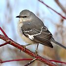 Northern Mockingbird  by Nancy Barrett