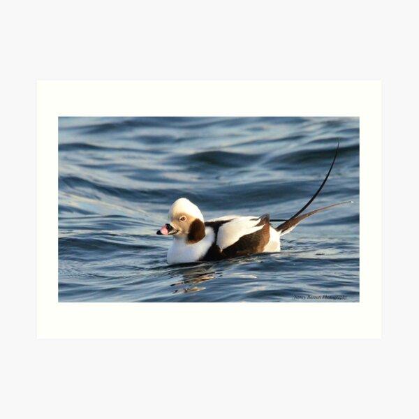 Long-tailed Duck  Art Print