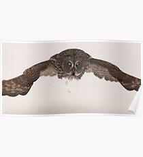 Great Grey Owl - Ottawa, Ontario Poster