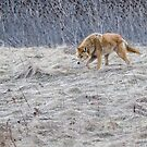 Coyote searching for food by (Tallow) Dave  Van de Laar