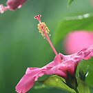 Pink Hibiscus by nicib83