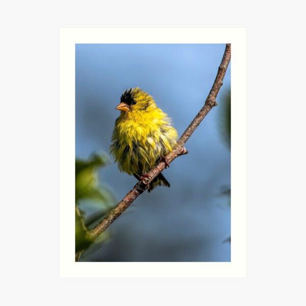 American Goldfinch Art Print