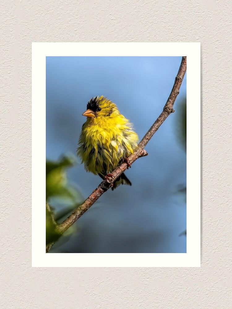 Alternate view of American Goldfinch Art Print