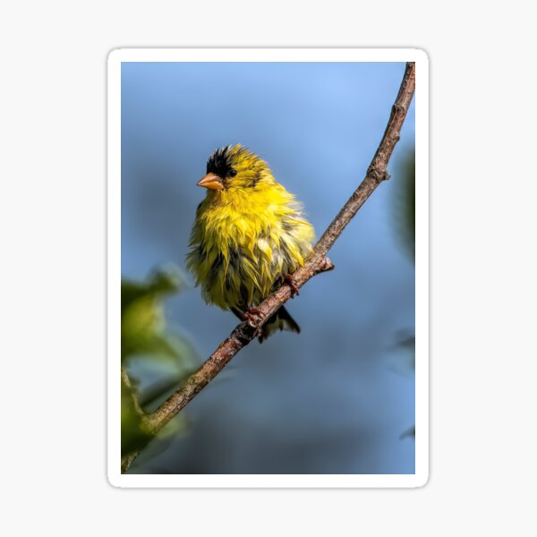 American Goldfinch Sticker