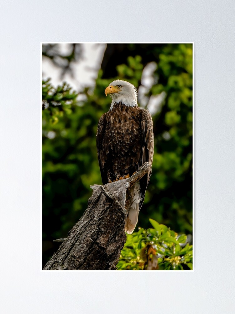 Alternate view of Bald Eagle Poster