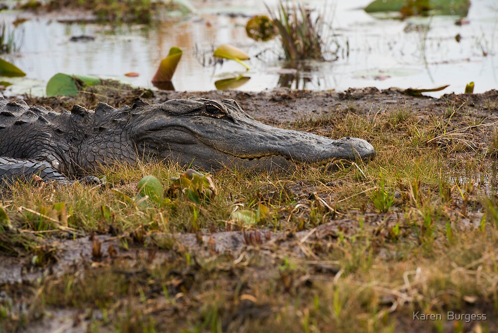 Alligator by Karen  Burgess