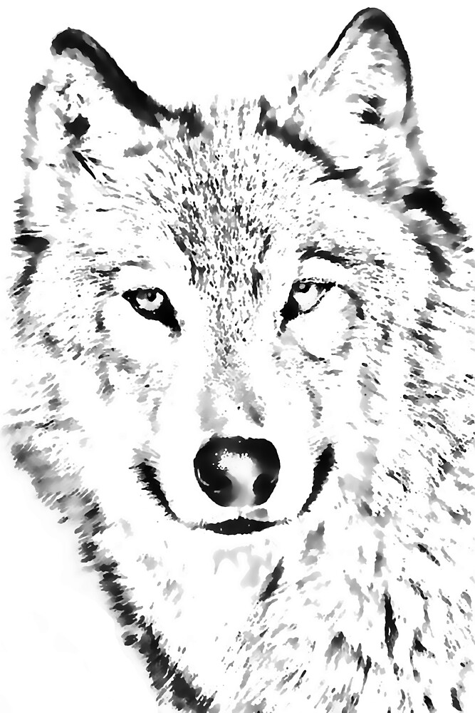 Grey Wolf (Canis lupus) by Terry Bailey