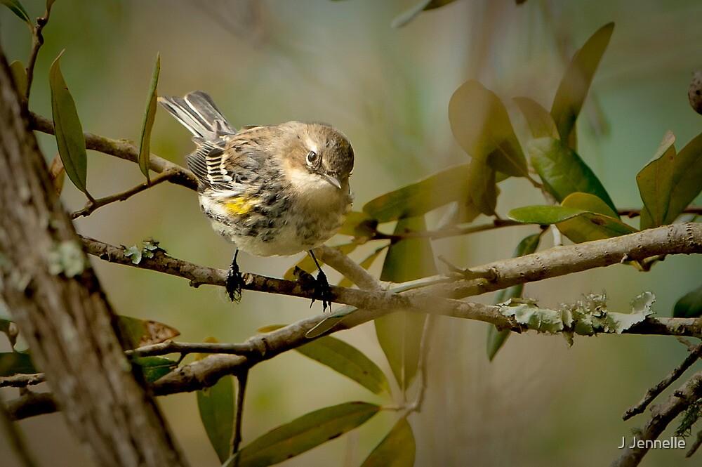 Yellow Rump Warbler by Joe Jennelle
