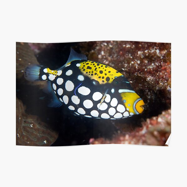 Clown triggerfish Poster