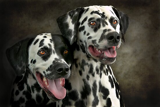 Dalmatian by 2  by Mark Cooper