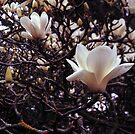 Magnolia denudata by Rodney Johnson