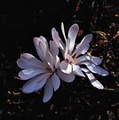 Magnolia stellata by Rodney Johnson