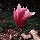 Magnolia sprengeri by Rodney Johnson