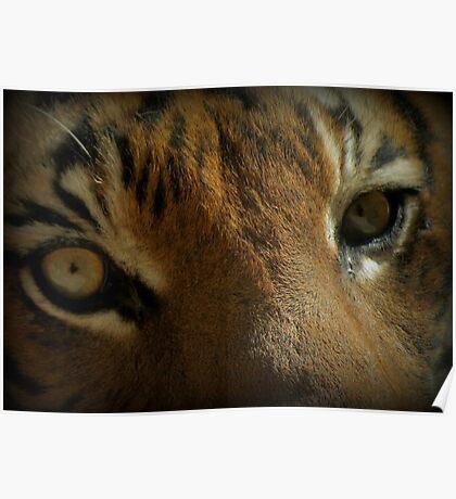 Malayan Tiger Up Close (Critically Endangered) Poster