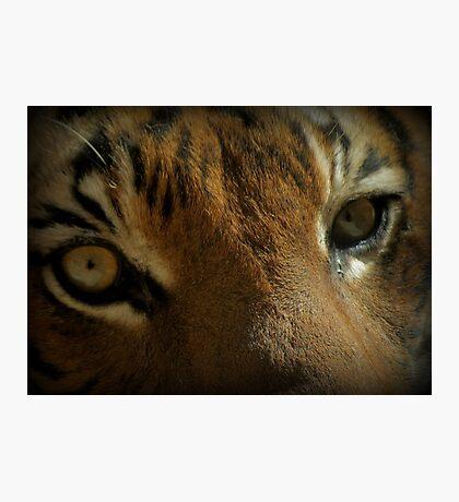 Malayan Tiger Up Close (Critically Endangered) Photographic Print