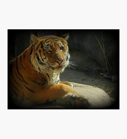Malayan Tiger (Critically Endangered)  Photographic Print