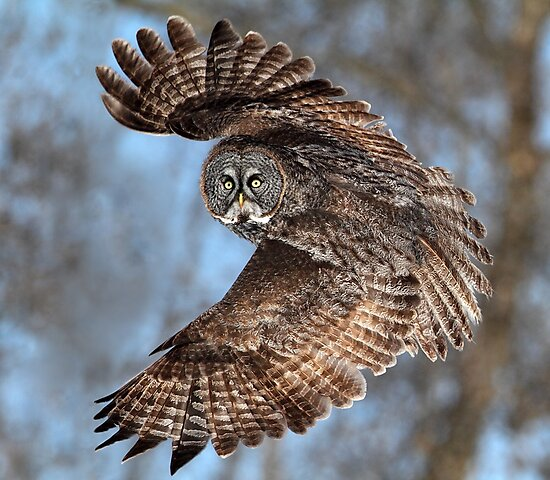 Top Down / Great Grey Owl by Gary Fairhead