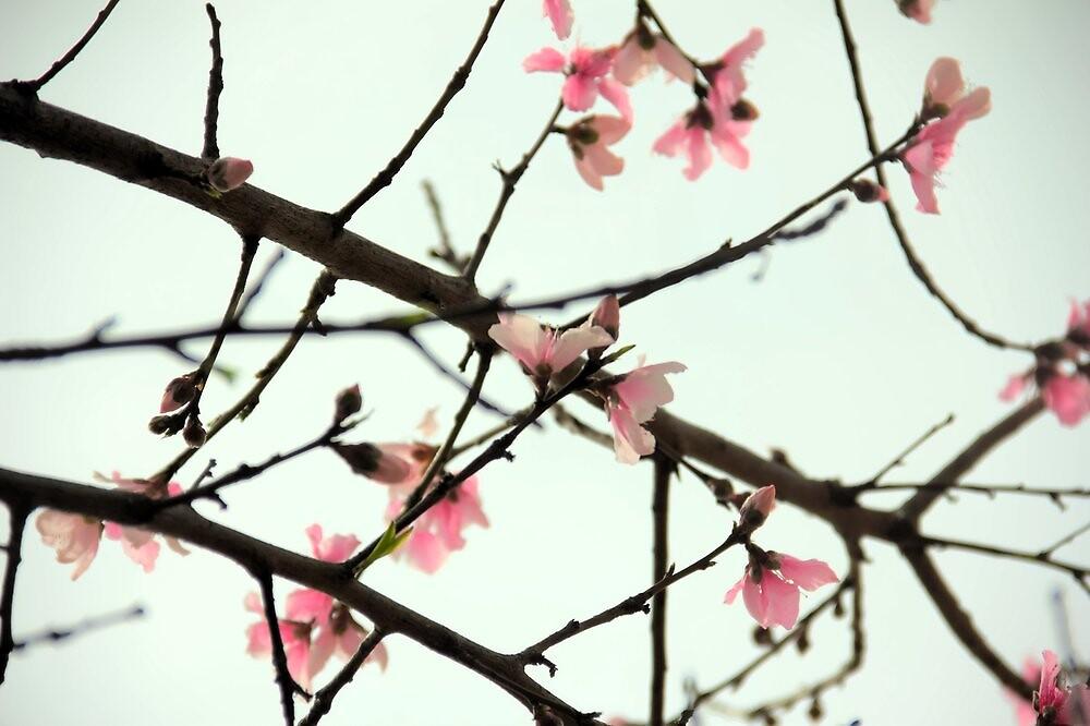 Peach Blossoms by BlackTopaz