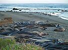"""Seal Sardines""  Elephant Seals at Piedras Blancas  by Gail Jones"