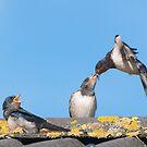 Swallow feeding its chick by DaleReynolds