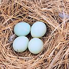 Mountain Bluebird Eggs by Betty  Town Duncan