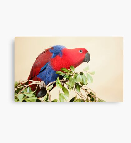Hang On - Eclectus Parrot Metal Print