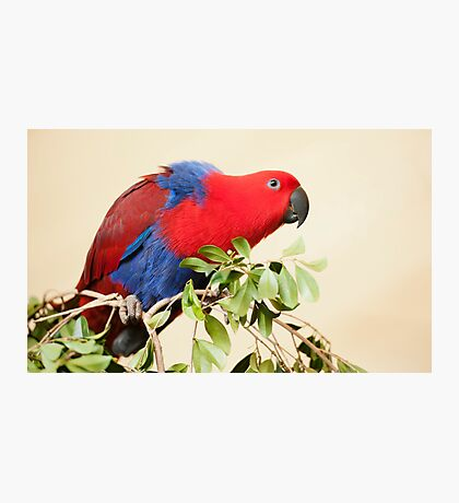 Hang On - Eclectus Parrot Photographic Print