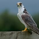 Lanner Falcon by Delboy10