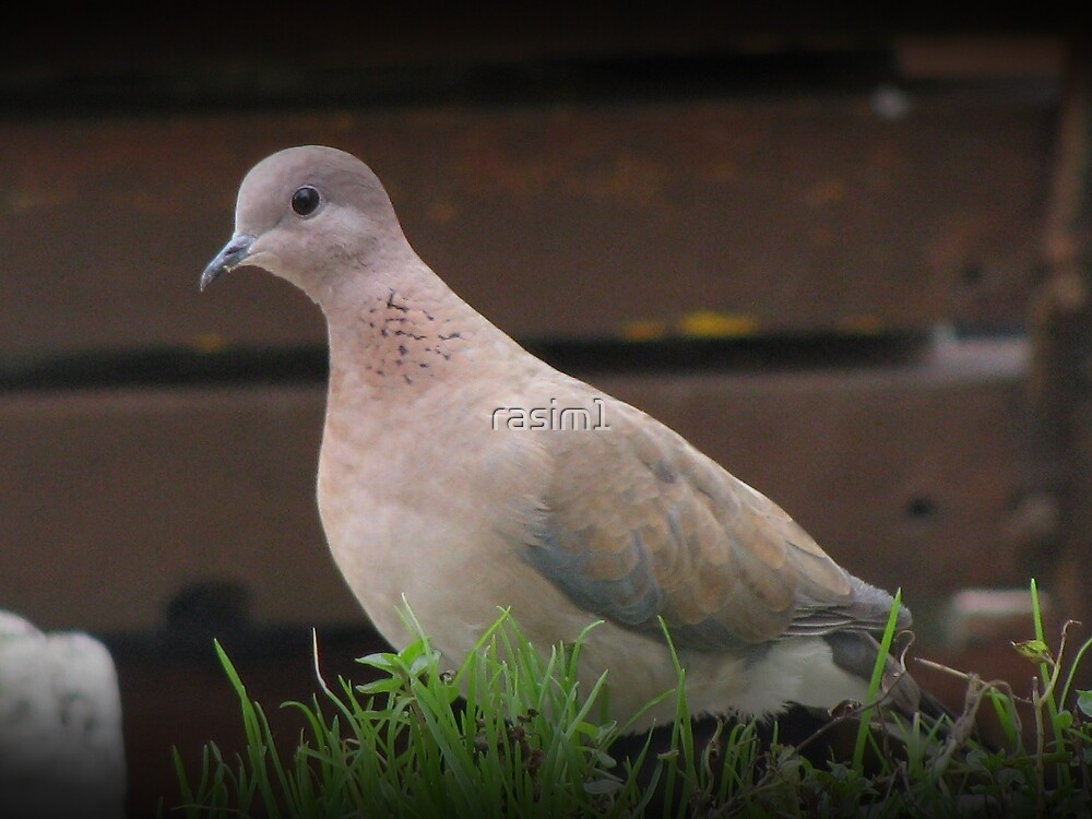Lonely dove. by rasim1