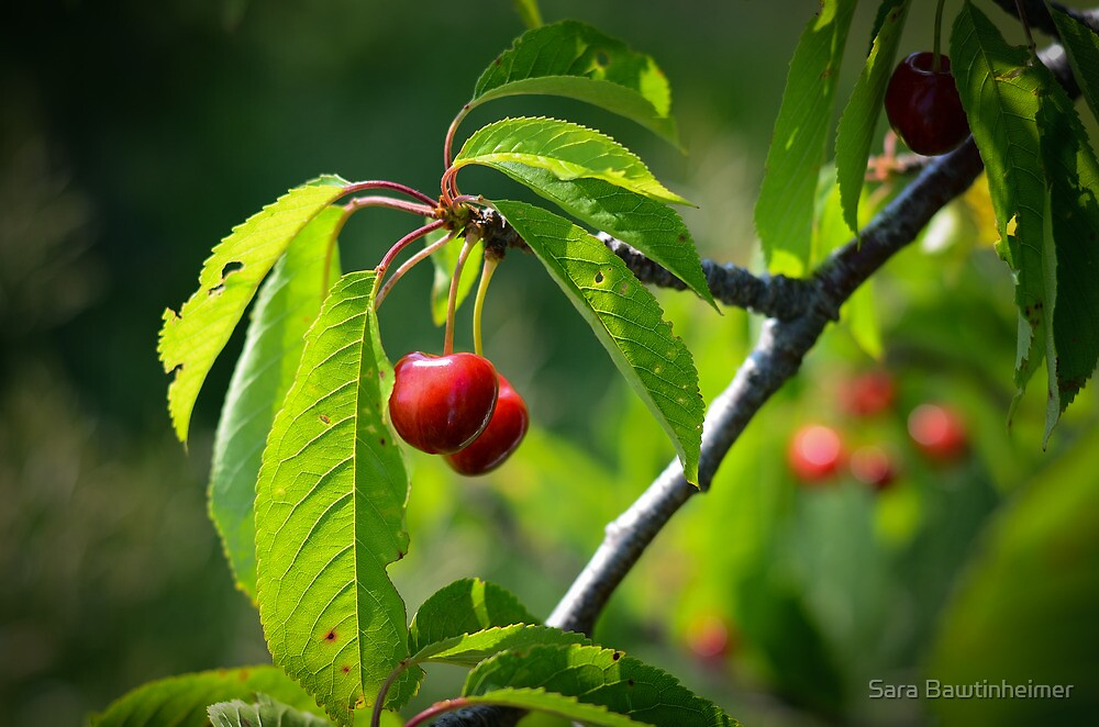 Michigan Cherries by Sara Bawtinheimer