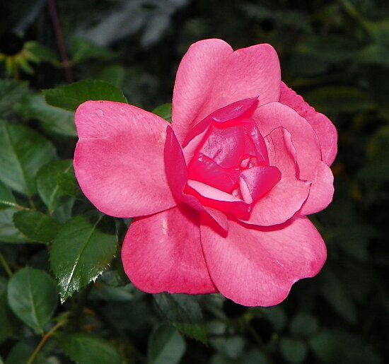 Soft Pink Rose by mussermd