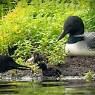 Nesting Loons 4 by Loon-Images