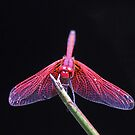 A colorful dragonfly by jozi1