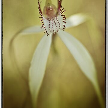 White Spider Orchid (Caladenia longicauda). by AmyesPhotograph