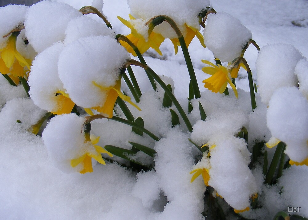 Snowy Daffs by ElsT