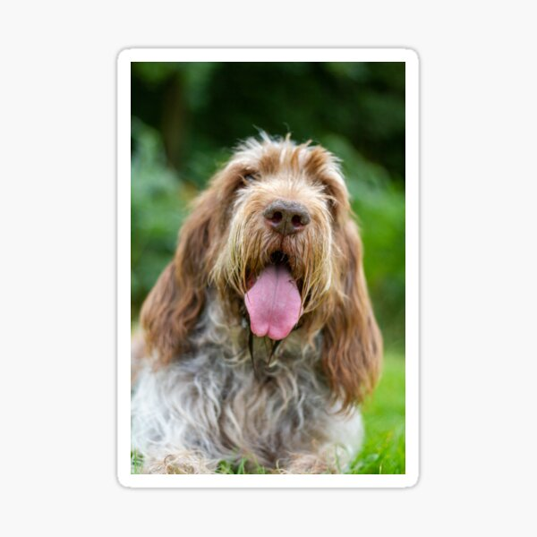 Happy Panting Spinone Sticker