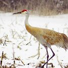 Crane In Snow by lorilee