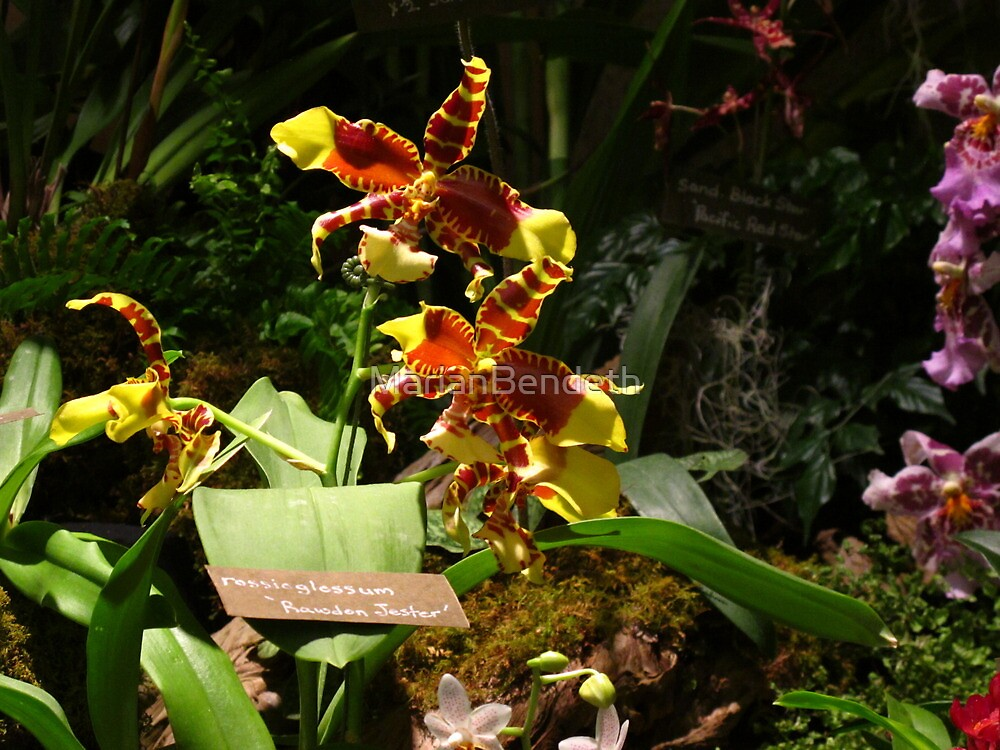 Rossioglossom Rawdon Jester orchids by MarianBendeth