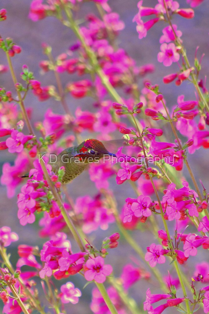 Peeking Through the Pink Penstemons by K D Graves Photography