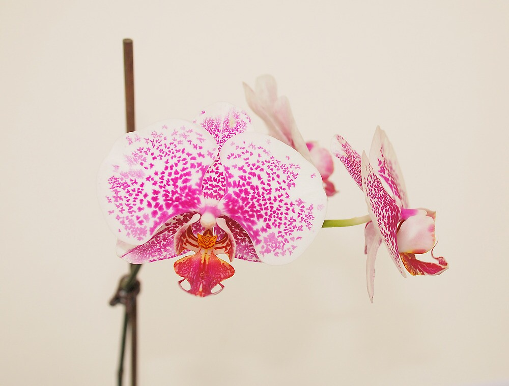 Pink and White Orchid by jojobob