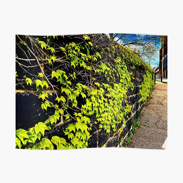 Wall of Ivy Poster