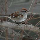 American Tree Sparrow by ArtistDCB