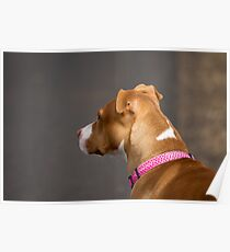 Portrait of a Pit Bull Poster
