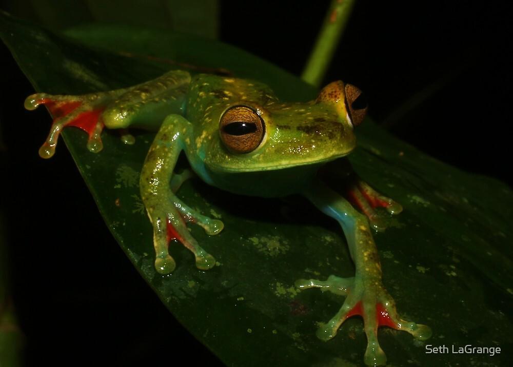 Scarlet-Webbed Tree Frog by Seth LaGrange
