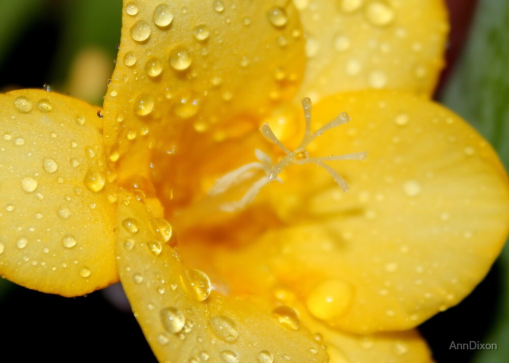 Freesia and Raindrops by AnnDixon