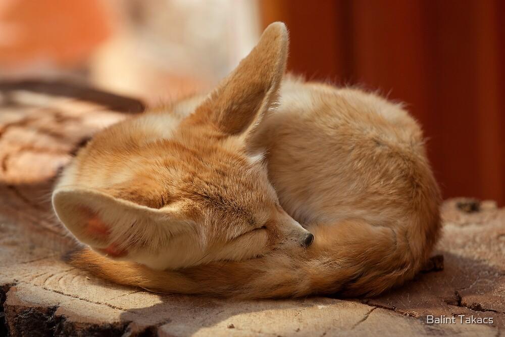 Desert fox by Balint Takacs