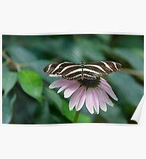 Zebra Longwing (Heliconius charithonia) Poster
