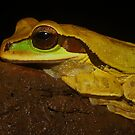 Masked Tree Frog by Seth LaGrange